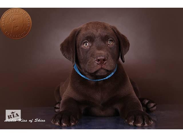 продам щенки лабрадора черные и шоколадные бу в Киеве