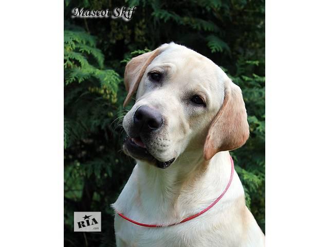 купить бу щенок лабрадора ретривера в Киеве