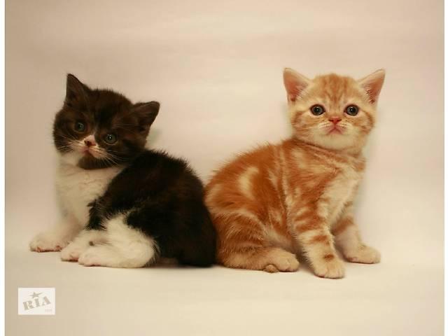купить бу Шотландские котята . Мальчик и девочка в Киеве