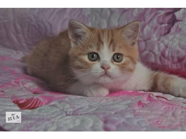купить бу Шотландские котята различных окрасов в Харькове
