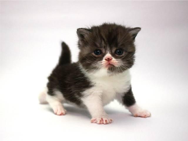 Шотландский котенок открыт для резервирования- объявление о продаже  в Киеве