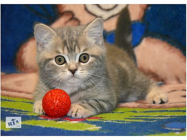 продам Шотландский мраморный прямоухий котенок бу в Киеве