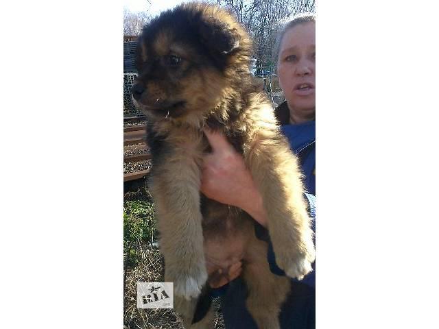 Шикарные щенки-богатыри в достойные руки на зависть соседям- объявление о продаже  в Киеве