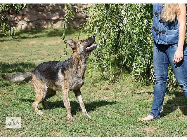 бу Собака размером с овчарку в Киеве