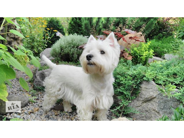 продам Stud dog West highland white Terrier бу  в Украине