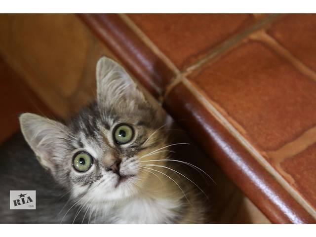 бу Симпатичный ушастик котенок-мальчик Тайгер Вудс ищет дом. в Киеве