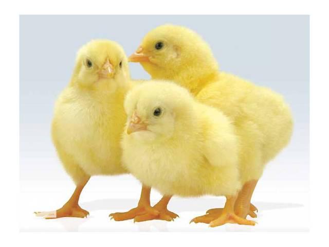 """продам Цыплята суточные, подрощенные, куры живым весом мясной породы """"КОББ 500"""". Цыплята инкубированны из Чешского яйца, привиты.ОПТОМ. бу в Чернобае"""