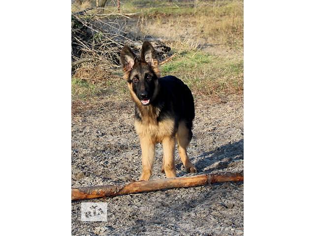 Великолепные щенки немецкой овчарки от сына Чемпиона Мира!- объявление о продаже  в Днепре (Днепропетровск)