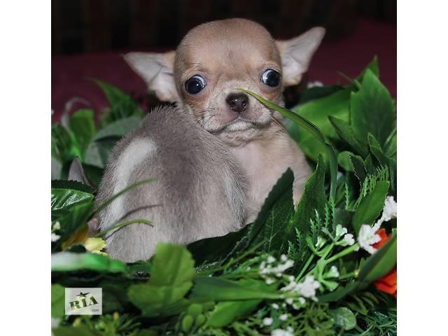 бу VIP щенки чихуахуа в Днепре (Днепропетровск)