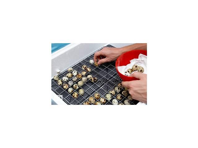 купить бу Инкубационные яйца перепелов. Эстонцы, Техасцы в Дымере