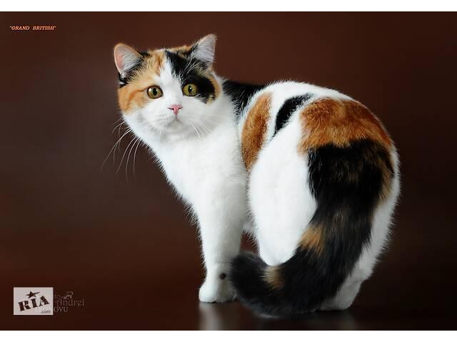 бу британская кошка в Николаеве