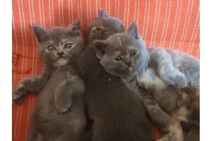 Британские чистокровные котята
