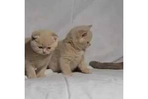 Британские котята персиковые и голубые