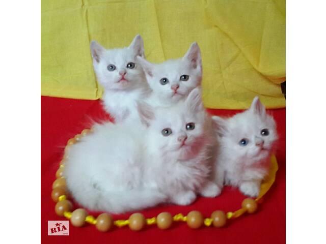 продам Чудесные белоснежные котятки, ласковые и игривые, будут чудесным украшением в  Вашем доме! бу в Харькове