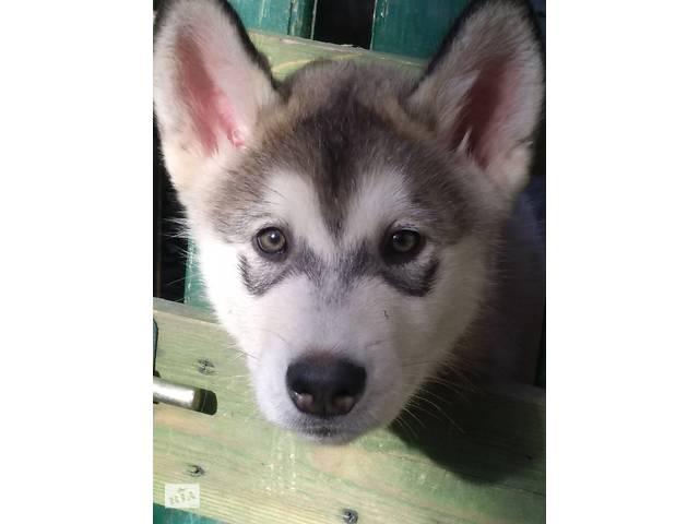 купить бу Замечательные щенки Аляскінського маламута в Ужгороде