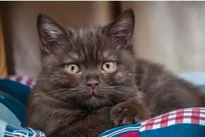 Чистокровные шотландские вислоухие и прямоухие котята с родословной