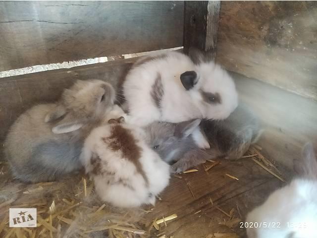 Декоративные кролики - объявление о продаже  в Белгороде-Днестровском