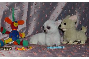Для продажи предлагаются  мини- чихуахуа -самые классные ,игривые, ласковые малыши,тип кобби,беби-фейс.
