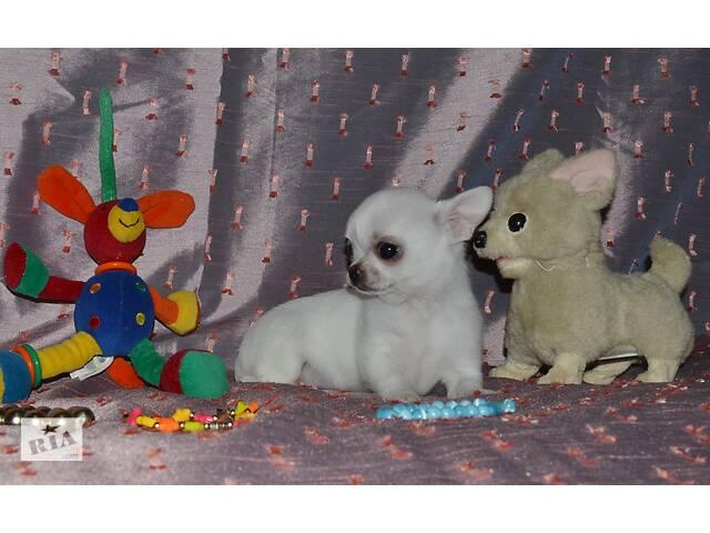 продам Для продажи предлагаются  мини- чихуахуа -самые классные ,игривые, ласковые малыши,тип кобби,беби-фейс. бу в Хмельницком