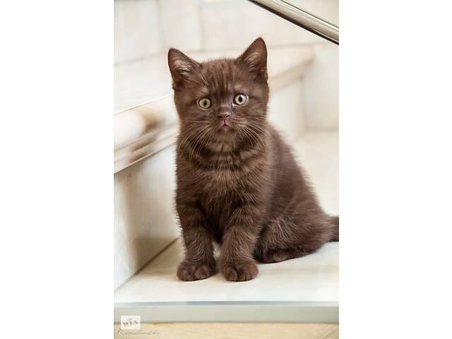 купить бу Елітні шотландські шоколадні кошенята в Киеве
