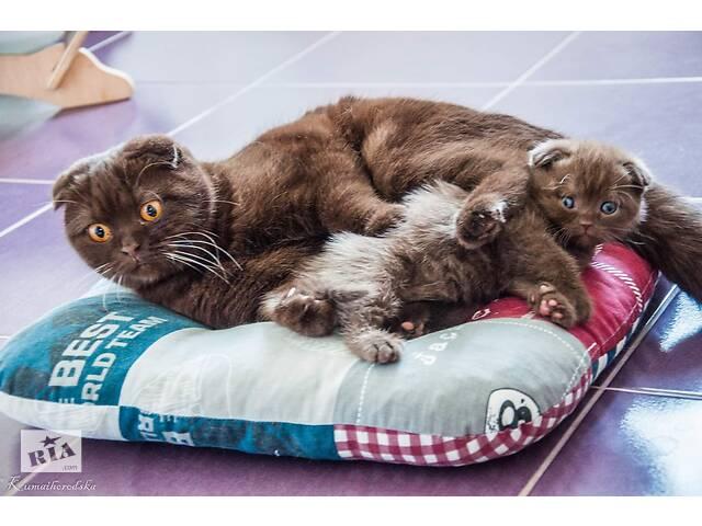 продам Елитние шотландские висловухие шоколадние котята бу в Киеве
