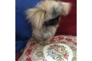 Элитный щенок пекинеса