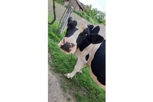 Корова 3 года продажа