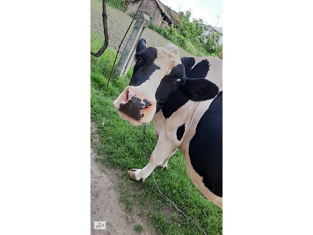 купить бу Корова 3 года продажа в Киеве