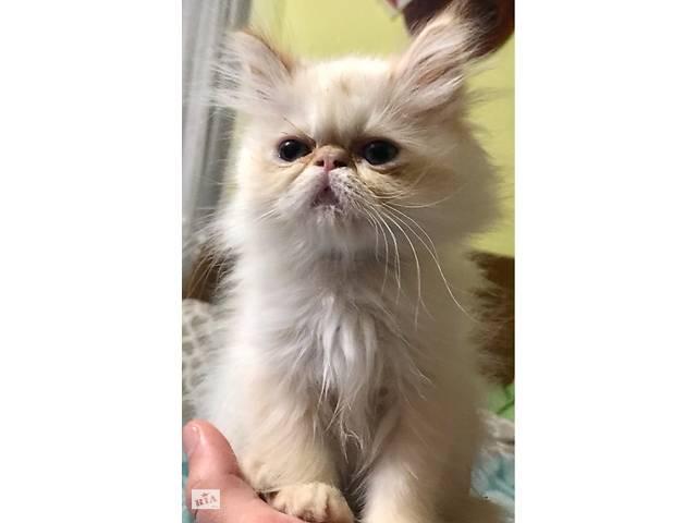Продаю кошенята- объявление о продаже  в Стрые