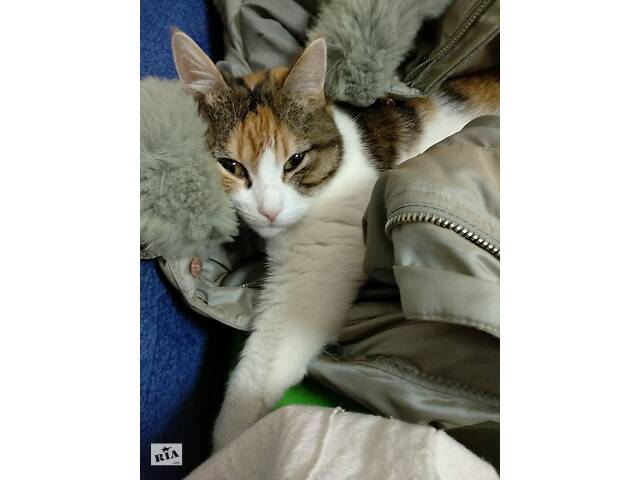купить бу Кошка трехцветная к Удаче в Киеве