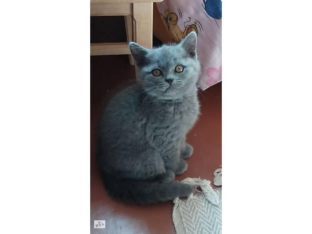 Котенок шотландец - объявление о продаже  в Кривом Роге