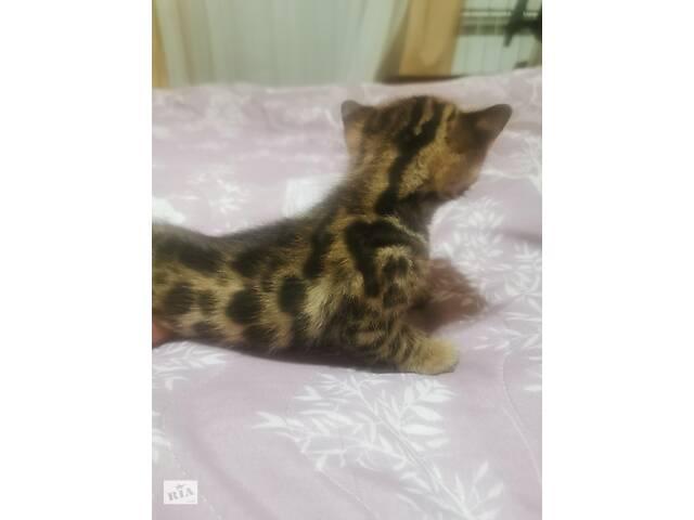 купить бу Котята Бенгальской породы в Бахмуте (Артемовск)