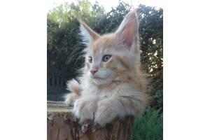 Котята Мейн Кун.