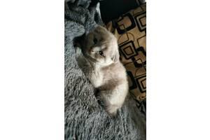 Котята Скотиш Фолд Скотиш Страйт Шотландские котята Вислоухие коты
