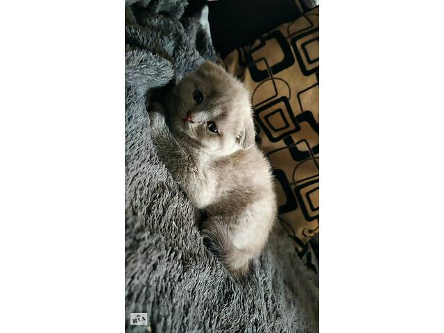 бу Котята Скотиш Фолд Скотиш Страйт Шотландские котята Вислоухие коты в Кривом Роге