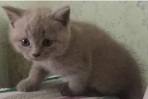 Котик британчик породистий для відповідальної сім'ї.Дзвоніть!