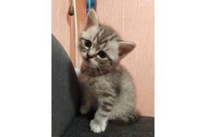 Котик мраморный  скоттиш -страйт
