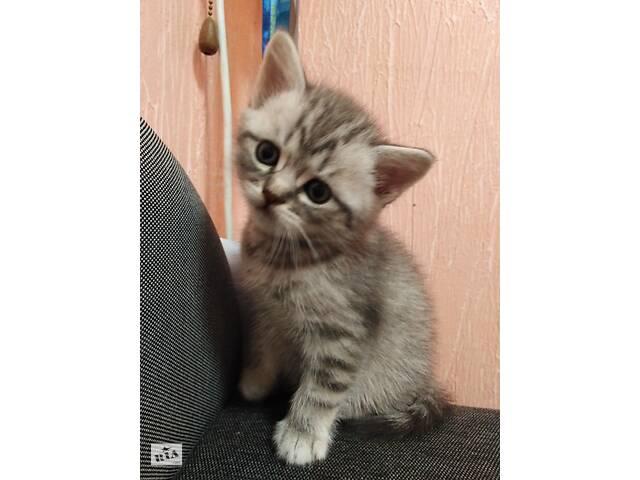 продам Котик мраморный  скоттиш -страйт бу в Ирпене