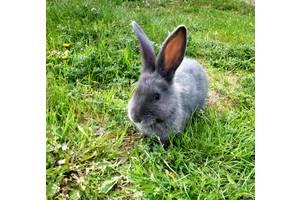 Кролики, калифорнийцы, кролики