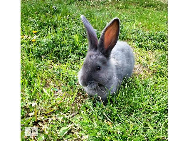 купить бу Кролики, калифорнийцы, кролики в Малине