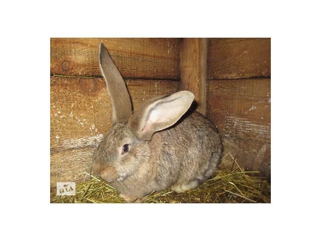 продам Кролики Немецкий обер бу в Полтаве