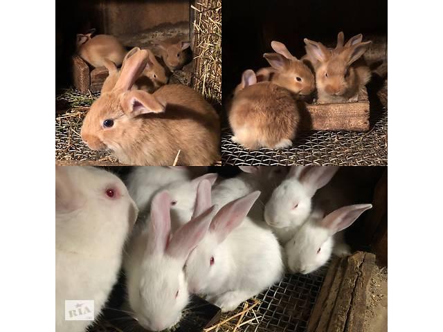 Кролики- объявление о продаже  в Борисполе