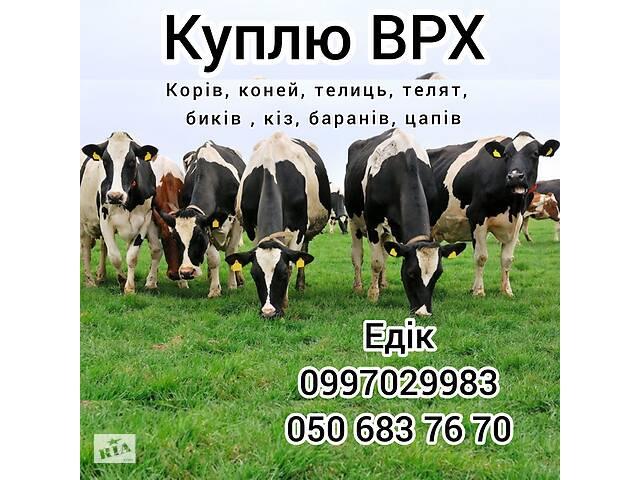 КУПЛЮ ВРХ (корів, биків, телиць, коней, кіз, баранів)