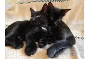 Купить кота. Чёрный кот -удача ждёт! 2 мес
