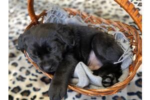 Купить щенки лабрадора ретривера Киев