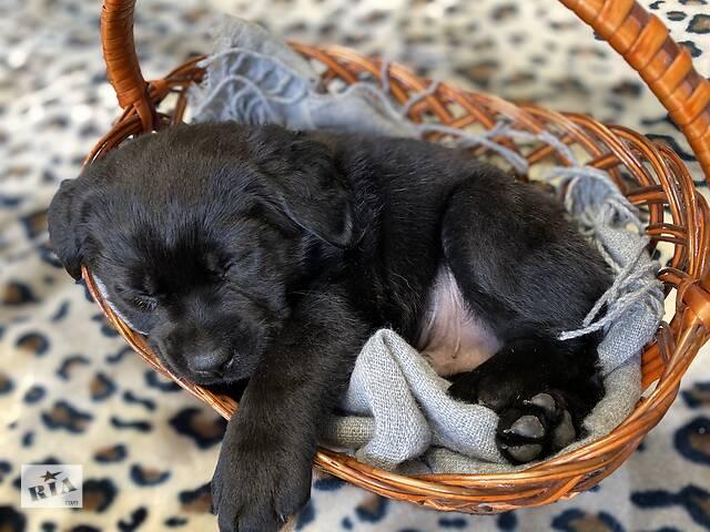 купить бу Купить щенки лабрадора ретривера Киев в Киеве