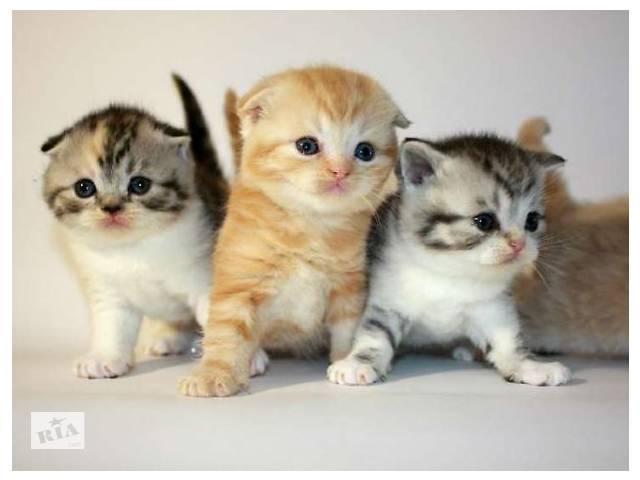 продам Очаровательные шотландские котята  бу в Киеве