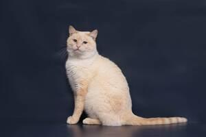 Отдам в хорошие руки фенотипичного тайского котика Уве.