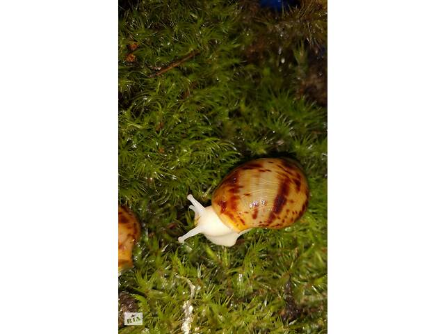 продам Пара улитят: архахатина маргината овум альбино, с геном сильвер бу в Киеве