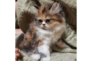 Персидский котенок девочка